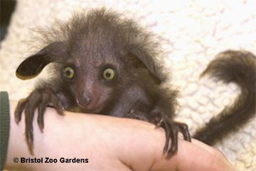 aye aye. Image credit: Aye-aye at Bristol Zoo. Image courtesy Bristol Zoo Gardens